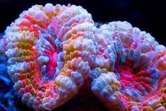 Seigneur des boucles de corail Photos stock
