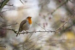 Sein de Robin Red été perché dans la région boisée d'automne photographie stock