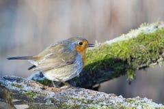 Sein rouge d'oiseau de Robin dans l'horaire d'hiver Photo stock