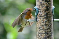 Sein rouge de Robin au conducteur d'oiseau Photo libre de droits