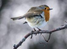 Sein rouge de Robin sur une branche Image stock
