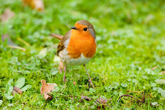 Sein rouge européen de Robin sur l'herbe moussue Images libres de droits
