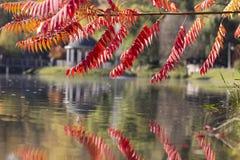 Seine Blätter haben eine wunderbare Färbung des Herbstes, die Farben überschreiten glatt von Gelb zu Hochrot stockbild