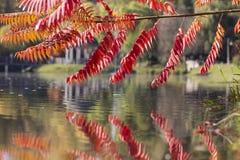 Seine Blätter haben eine wunderbare Färbung des Herbstes, die Farben überschreiten glatt von Gelb zu Hochrot lizenzfreies stockbild