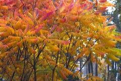 Seine Blätter haben eine wunderbare Färbung des Herbstes, die Farben überschreiten glatt von Gelb zu Hochrot stockbilder
