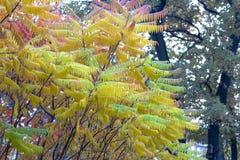 Seine Blätter haben eine wunderbare Färbung des Herbstes, die Farben überschreiten glatt von Gelb zu Hochrot lizenzfreies stockfoto
