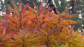 Seine Blätter haben eine wunderbare Färbung des Herbstes, die Farben überschreiten glatt von Gelb zu Hochrot lizenzfreie stockfotos