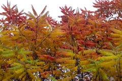 Seine Blätter haben eine wunderbare Färbung des Herbstes, die Farben überschreiten glatt von Gelb zu Hochrot stockfoto