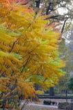 Seine Blätter haben eine wunderbare Färbung des Herbstes, die Farben überschreiten glatt von Gelb zu Hochrot lizenzfreie stockbilder