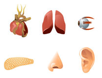 Seis órgãos humanos Imagens de Stock