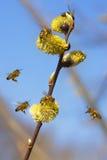 Seis abelhas e uma filial do salgueiro Fotografia de Stock