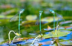 Seis acoplamientos de las libélulas Imágenes de archivo libres de regalías