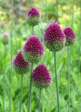 Seis alliums púrpuras del palillo en el campo de hierba verde imagen de archivo
