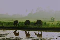 Seis búfalos Foto de Stock