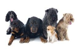 Seis cães Imagem de Stock