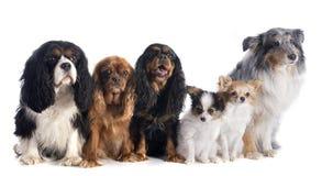 Seis cães Fotografia de Stock Royalty Free