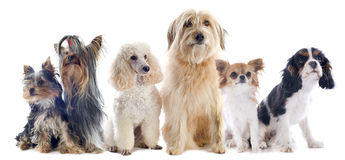 Seis cães pequenos fotos de stock royalty free