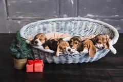 Seis cachorrinhos do lebreiro que dormem na cesta Imagem de Stock