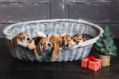 Seis cachorrinhos do lebreiro que dormem na cesta Fotografia de Stock Royalty Free