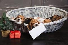 Seis cachorrinhos do lebreiro que dormem na cesta Foto de Stock