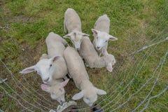 Seis cordeiros amigáveis aproximam um fotógrafo fotografia de stock royalty free