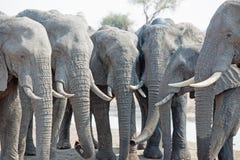 Seis elefantes en una línea recta consumición Imagen de archivo libre de regalías