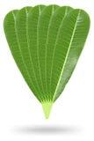seis folhas do plumeria isoladas no branco Imagem de Stock Royalty Free