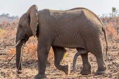 Seis mamíferos equipados com pernas Imagens de Stock Royalty Free