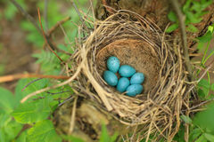 Seis ovos azuis do tordo na palha aninham-se em uma árvore na floresta fotos de stock