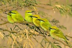 Seis pájaros verdes del comedor de abeja que se sientan en rama Foto de archivo