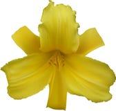 Seis pétalos amarillean el lirio aislado en blanco Fotografía de archivo libre de regalías