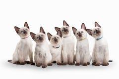 Seis pequeños gatitos tailandeses en el fondo blanco Fotografía de archivo libre de regalías