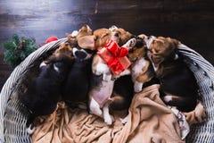 Seis perritos del beagle que duermen en la cesta Fotografía de archivo libre de regalías