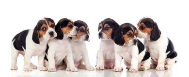 Seis perritos hermosos del beagle Imagen de archivo libre de regalías