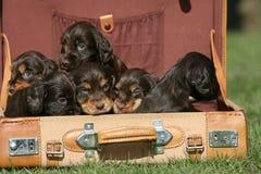 Seis perritos ingleses del perro de aguas de cocker en una maleta Imagenes de archivo