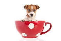 Seis semanas Jack viejo Russel en taza de café grande Imagen de archivo