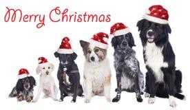 Seis perros mezclados de la raza en fila con los sombreros de santa Fotografía de archivo libre de regalías