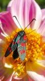 Seis-ponto Burnet no lírio cor-de-rosa Imagens de Stock