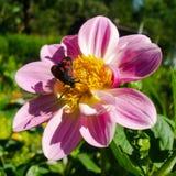 Seis-ponto Burnet no lírio cor-de-rosa Imagens de Stock Royalty Free