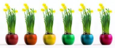 Seis potenciômetros coloridos com o narciso amarelo amarelo flourishing Imagem de Stock