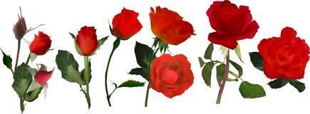 Seis rayas de la flor de la rosa del rojo en blanco imágenes de archivo libres de regalías