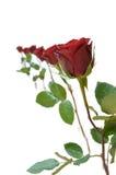 Seis rosas rojas Imagen de archivo libre de regalías
