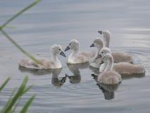 Seis sinetes do bebê no rio - junto em um grupo Imagem de Stock