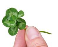 Seis trevos afortunado da folha Mutação genética na natureza Foto de Stock