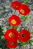 Seis tulipanes rojos en un día soleado fotos de archivo libres de regalías