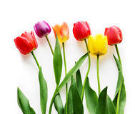 Seis Tulips Imagens de Stock Royalty Free