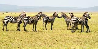 Seis zebras Imagens de Stock