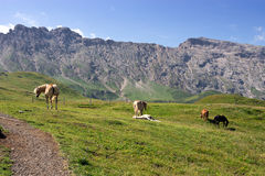 Seiser Alm meadow - Horses grazing in pasture land, Italy Royalty Free Stock Image