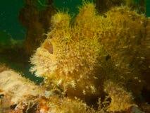 Seite auf Schuss von hispid Frogfish stockfotografie