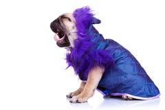 Seite eines schreienden Pugwelpenhundes Lizenzfreies Stockbild